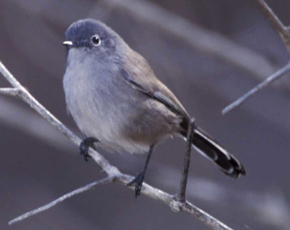 PLF and CoLAB team up to Challenge ESA Listing of the CA gnatcatcher